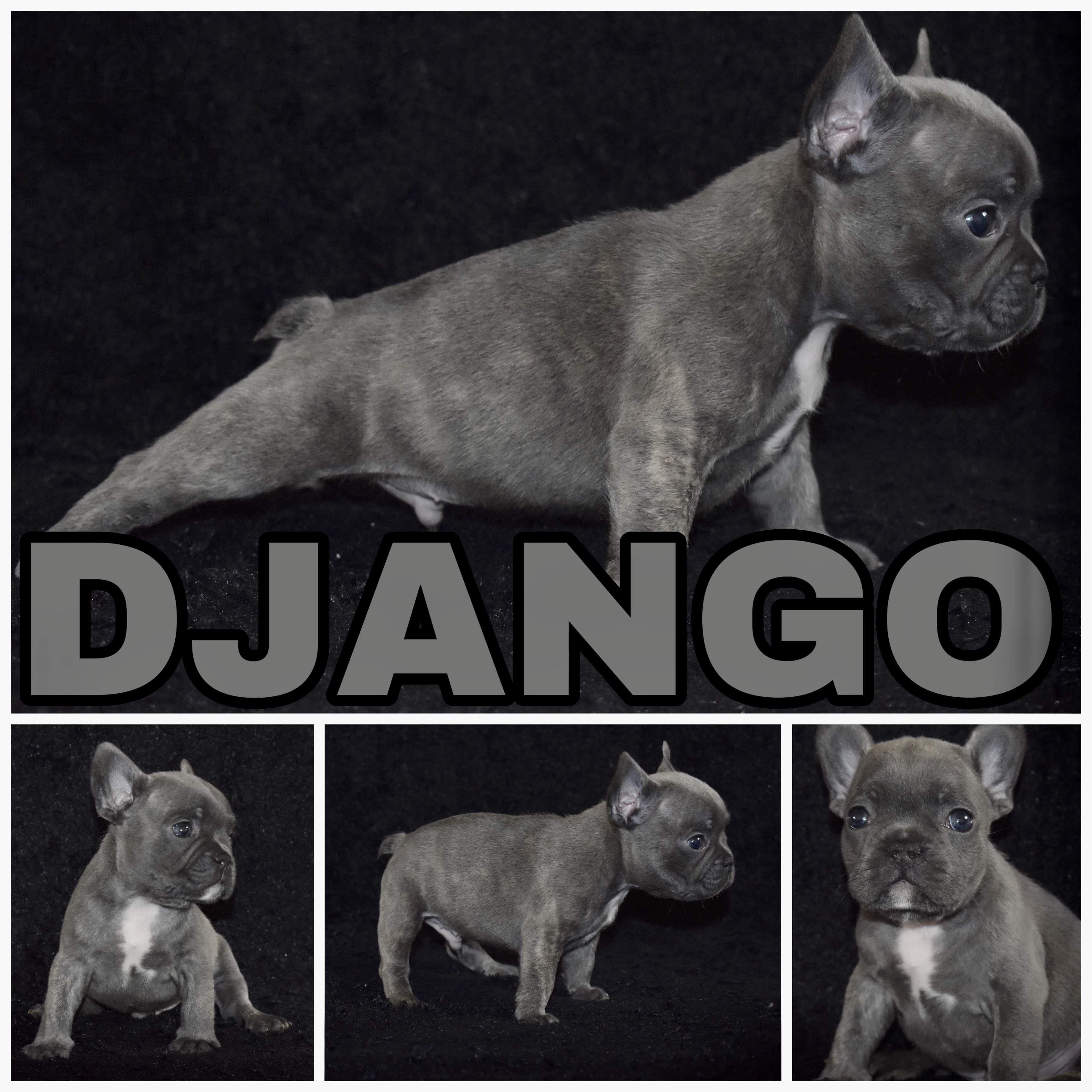 Django a male French Bulldog from Rosharon, Texas near