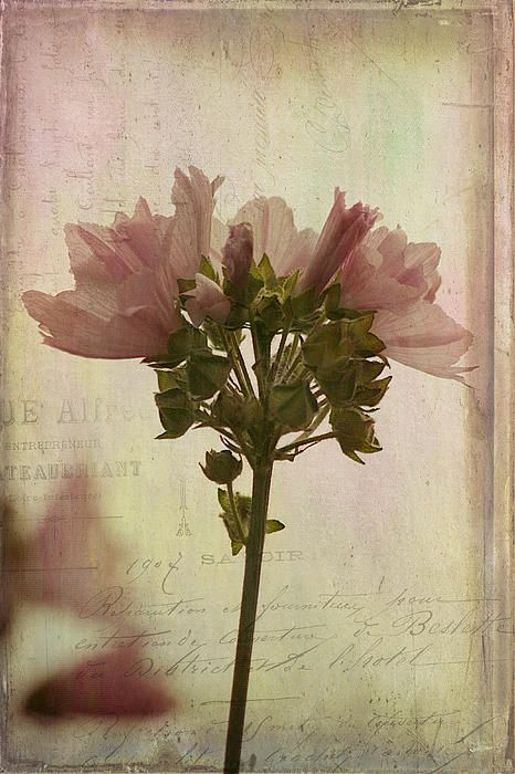 Title:  Hollyhock Mallow   Artist:  Cindi Ressler   Medium:  Photograph - Photograph