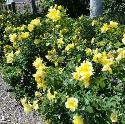Yellow Flower Carpet Roses From Anthony Tesselaar Plants Virtually