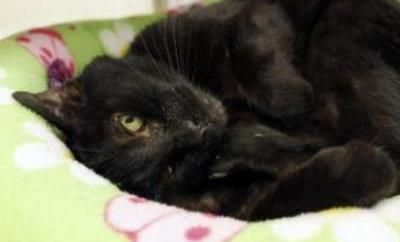 eet Asia, a 13-year-young, black DSH lady! Asia is hanging out in a condo room in the adoption lobby at Seattle Humane Society awaiting her next adventure. She is friendly, welcomes the cuddles and curls up like a kitten with attention! Still a playful and patient lady, she can't wait to meet you so come see her today! Asia is spayed, microchipped and vaccinated.