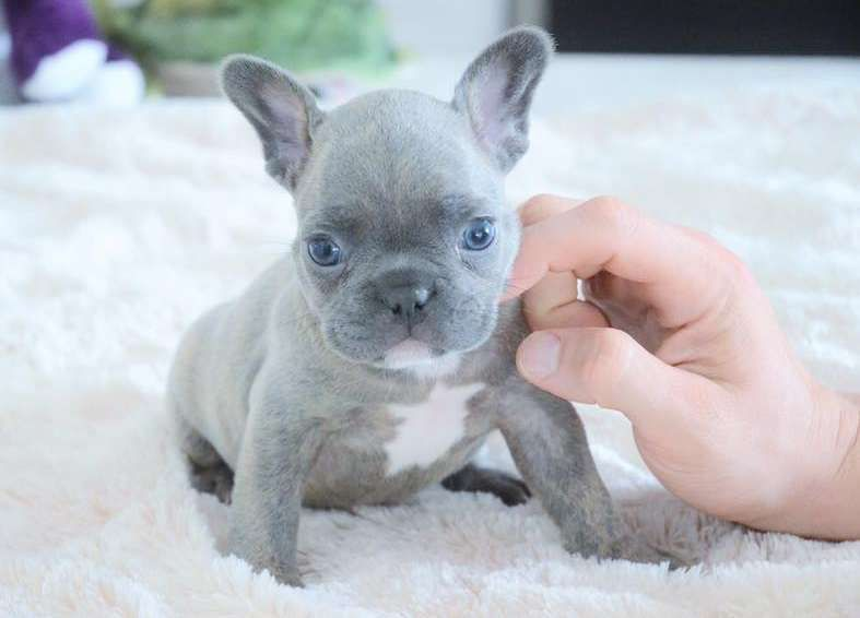 Hen Blue French Bulldog Puppies 5048916365 This Is A For