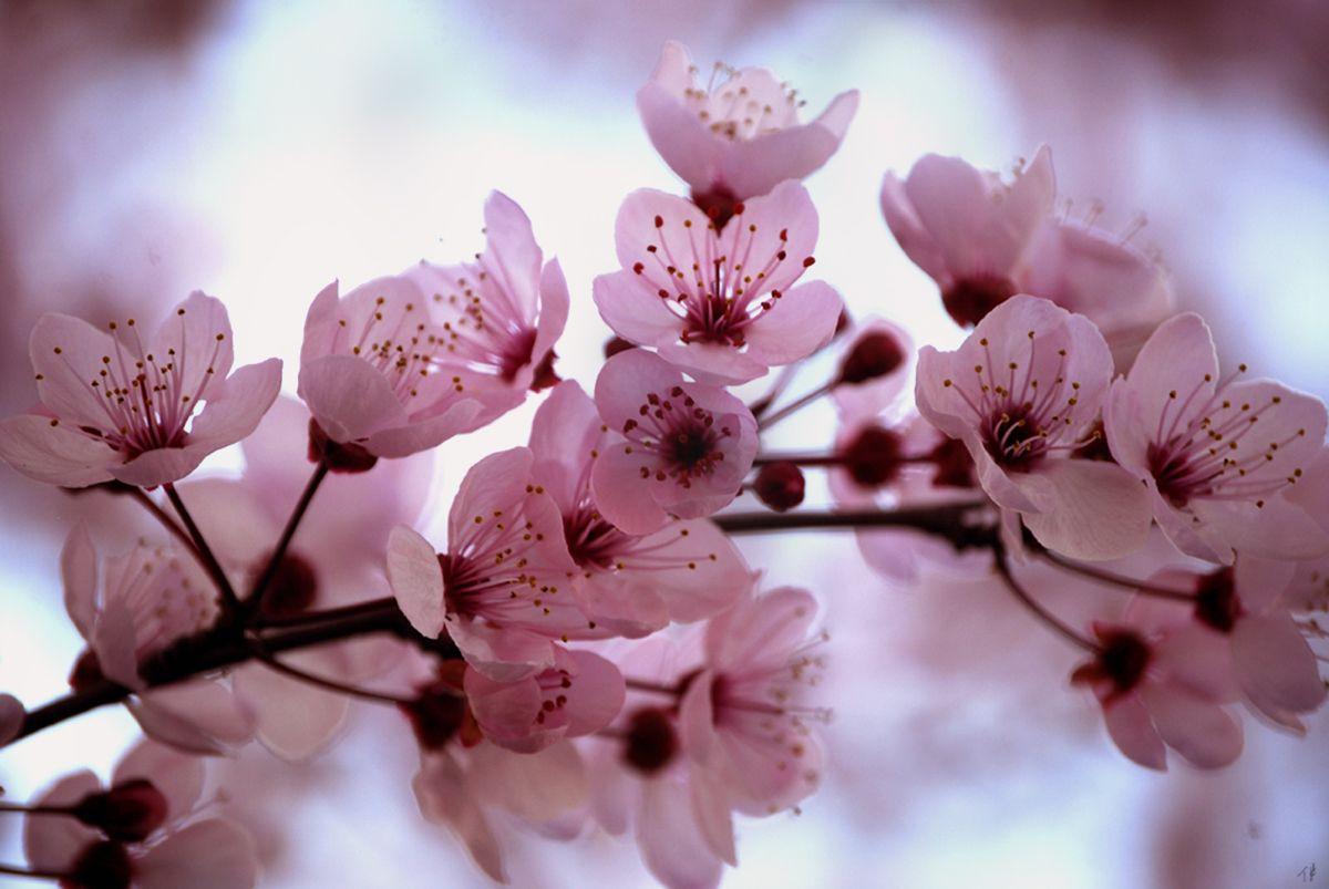 Pink Cherry Blossom By Olinkau Via Dreamstime Cherry Blooms Cherry Blossom Flowers Cherry Flower