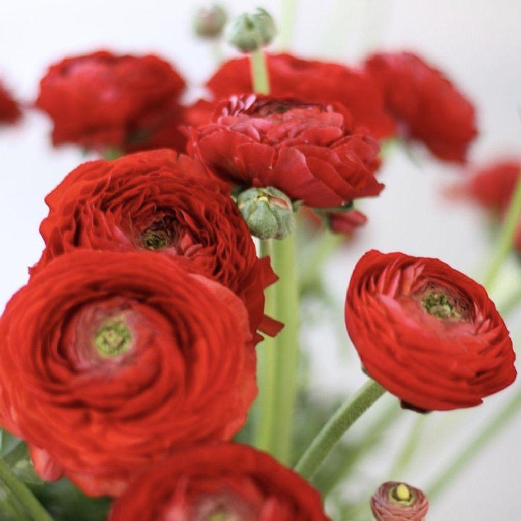 Italian Ranunculus Elegance Giallo Ranunculus Ranunculus Flowers Easy To Grow Bulbs