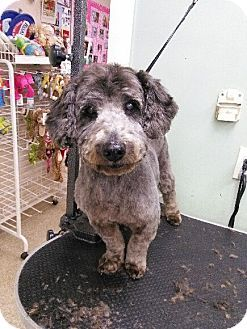 Hamden Ct Schnauzer Miniature Poodle Miniature Mix Meet Kenneth A Dog For Adoption Http Www Adoptapet Com P Dog Adoption Kitten Adoption Poodle Mix