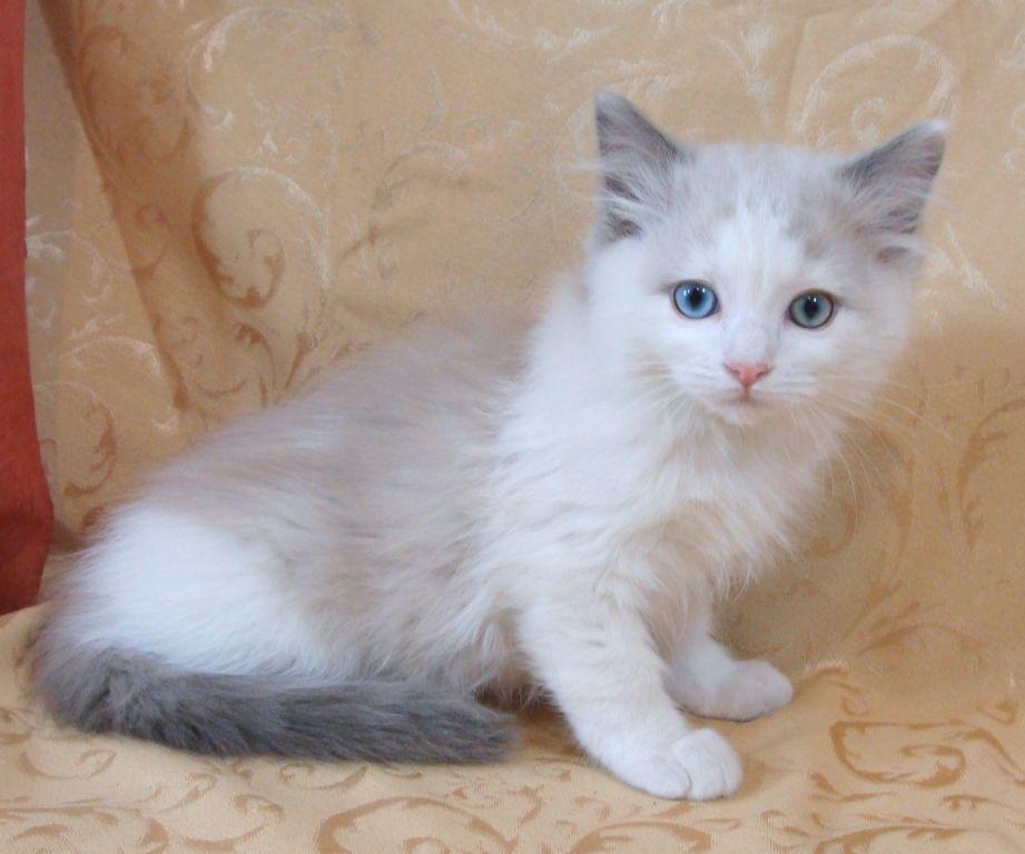 Pedigree Ragdoll Kittens Tica Registered Text Us On 407 848 2409 Munchkin Cat Ragdoll Kitten Ragdoll Cats For Sale