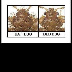 Photos Bed Bugs Vs Bat Bugs Bat Bugs Bed Bugs Pest Control