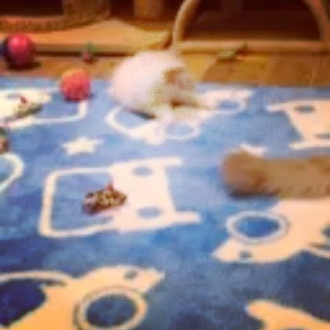 Kaia playing at the breeders. Sorry about the low resolution! Only 4 days until she comes home with us! .... #funnycatshirts