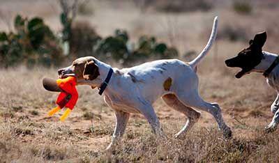 bird dog trainers