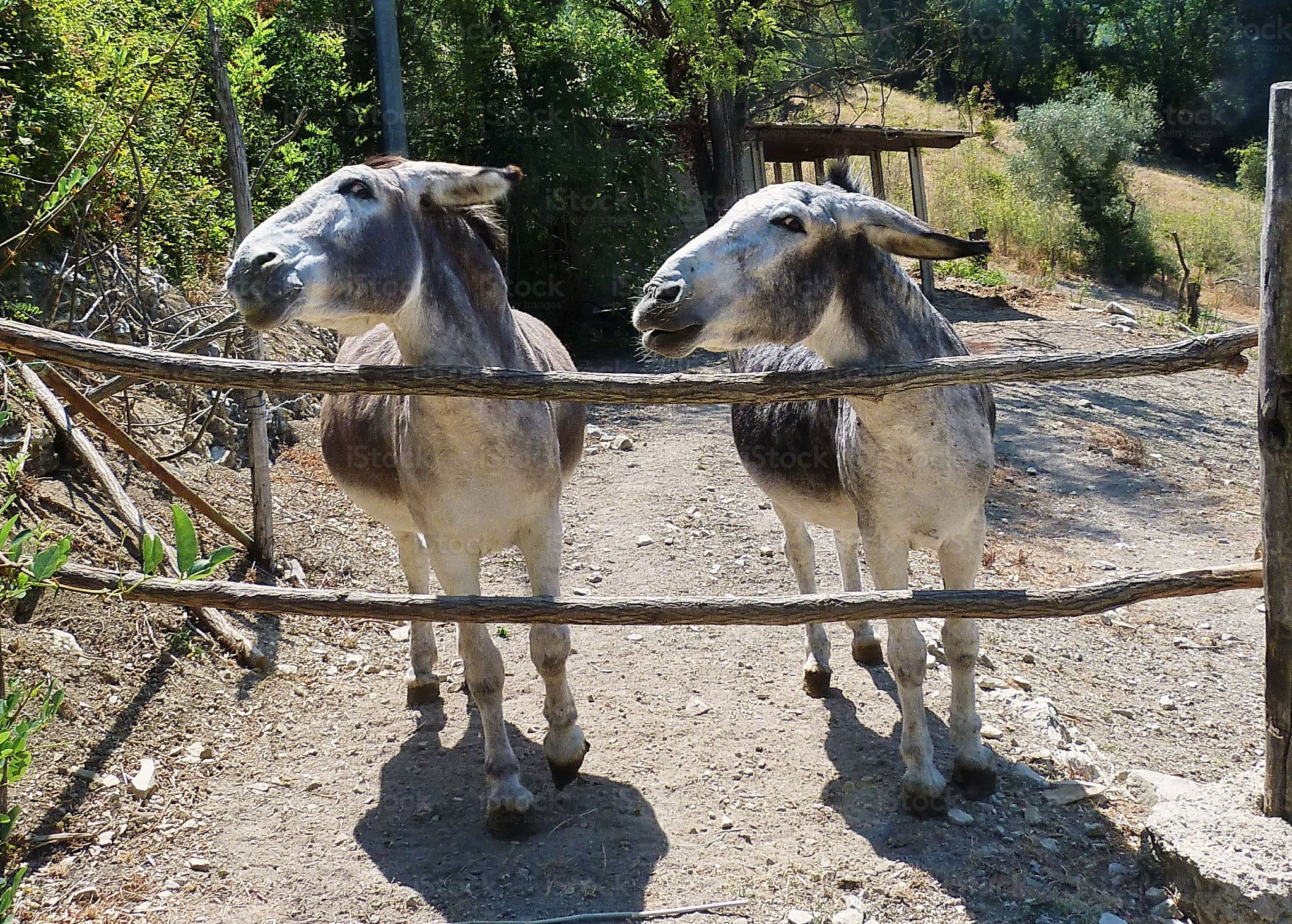 https://secure.istockphoto.com/photo/pair-of-donkeys-in-the-tuscan-countryside-gm511723768-86780415