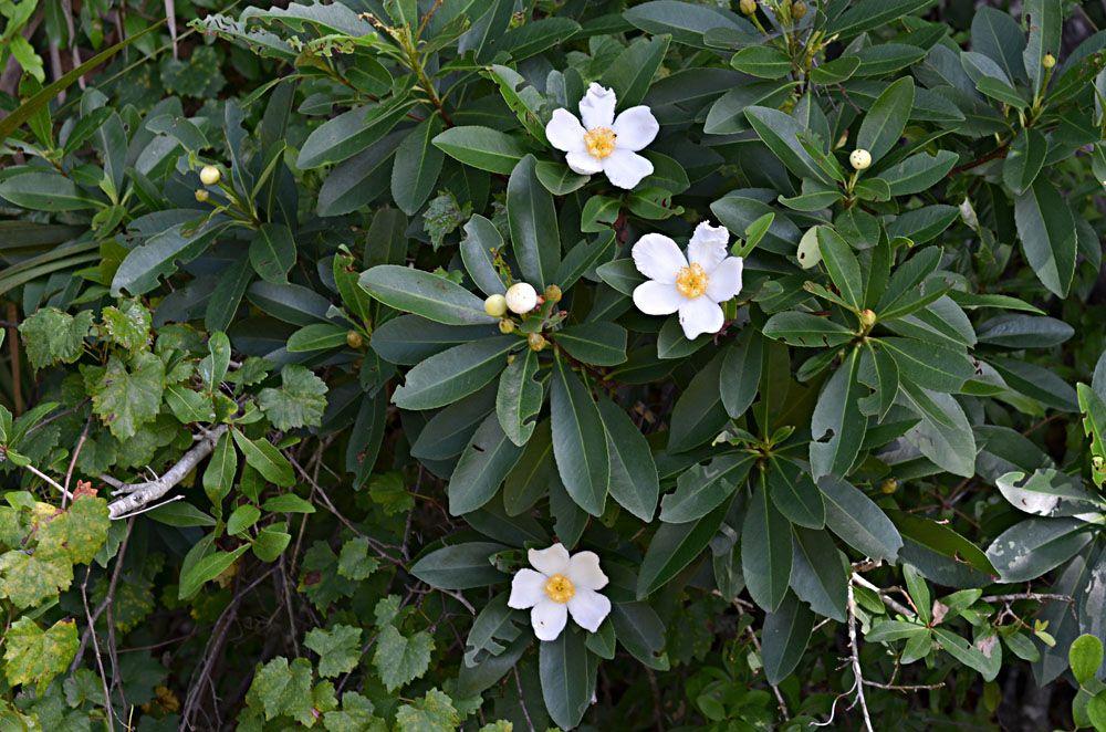 Loblolly Bay Gordonia Lasianthus Theaceae Tree Ornamental