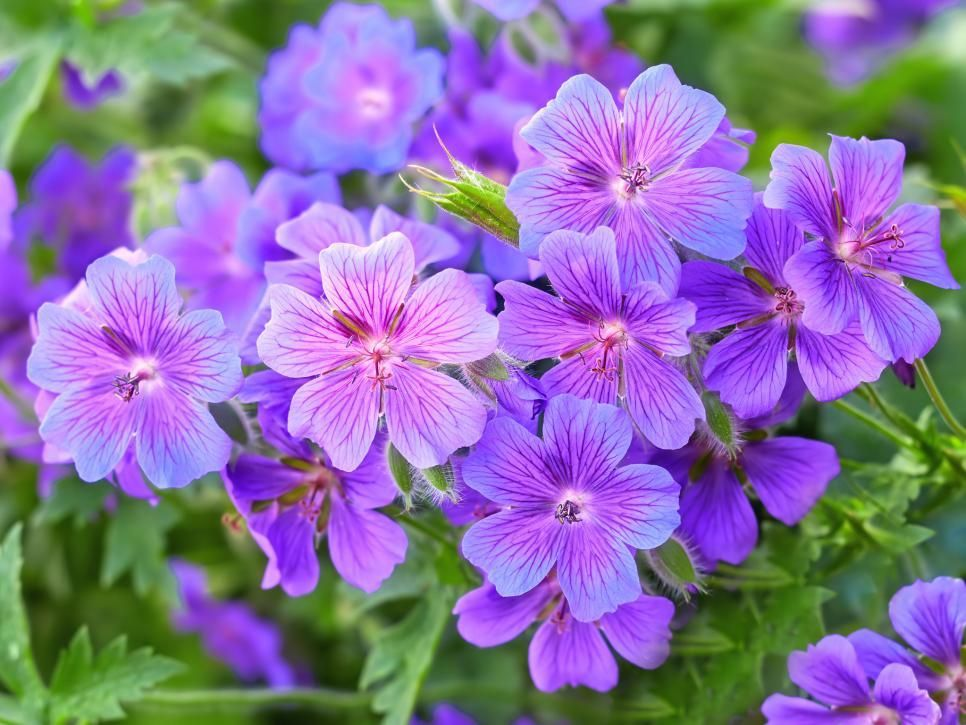 Top Purple Annual Flowers For Your Garden Hgtv Violet Things