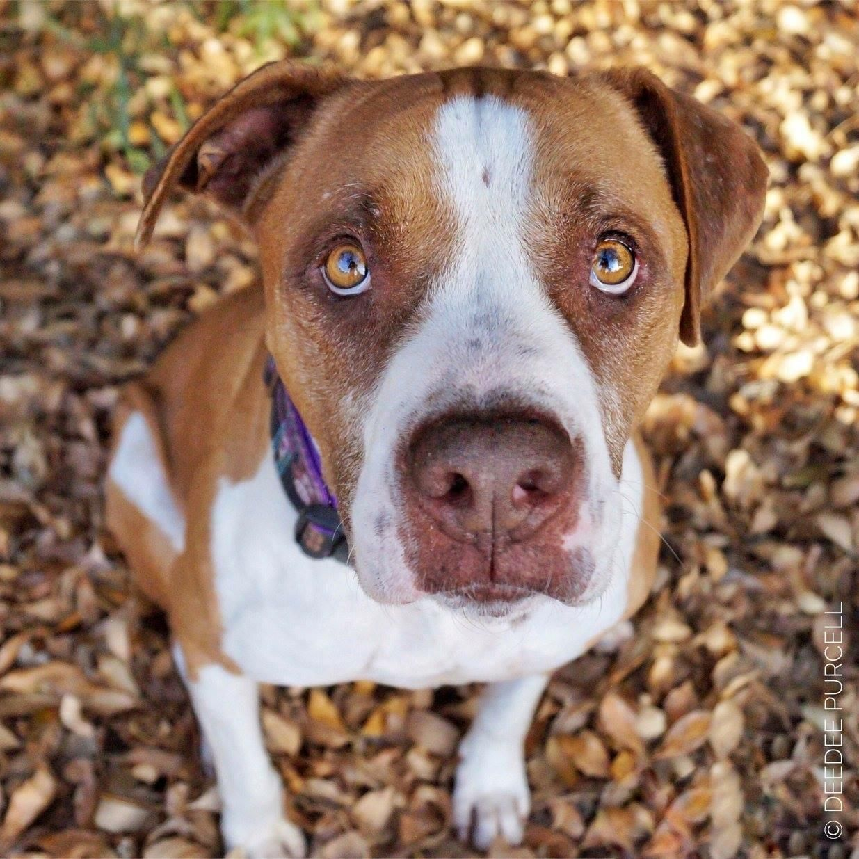 Adopt Liam on Pit dog, Dog adoption, Dogs