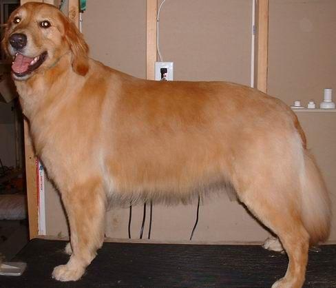 Corte de pelo para golden retriever
