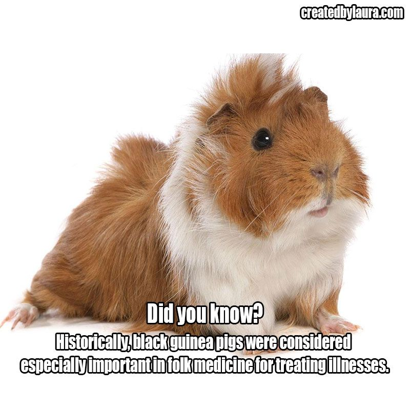 Did you know? Historically, black guinea pigs were considered