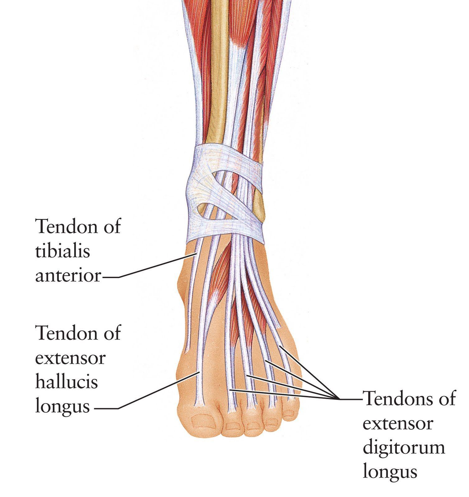 Myndaniðurstaða fyrir latin words for nerves in feet anatomy ...