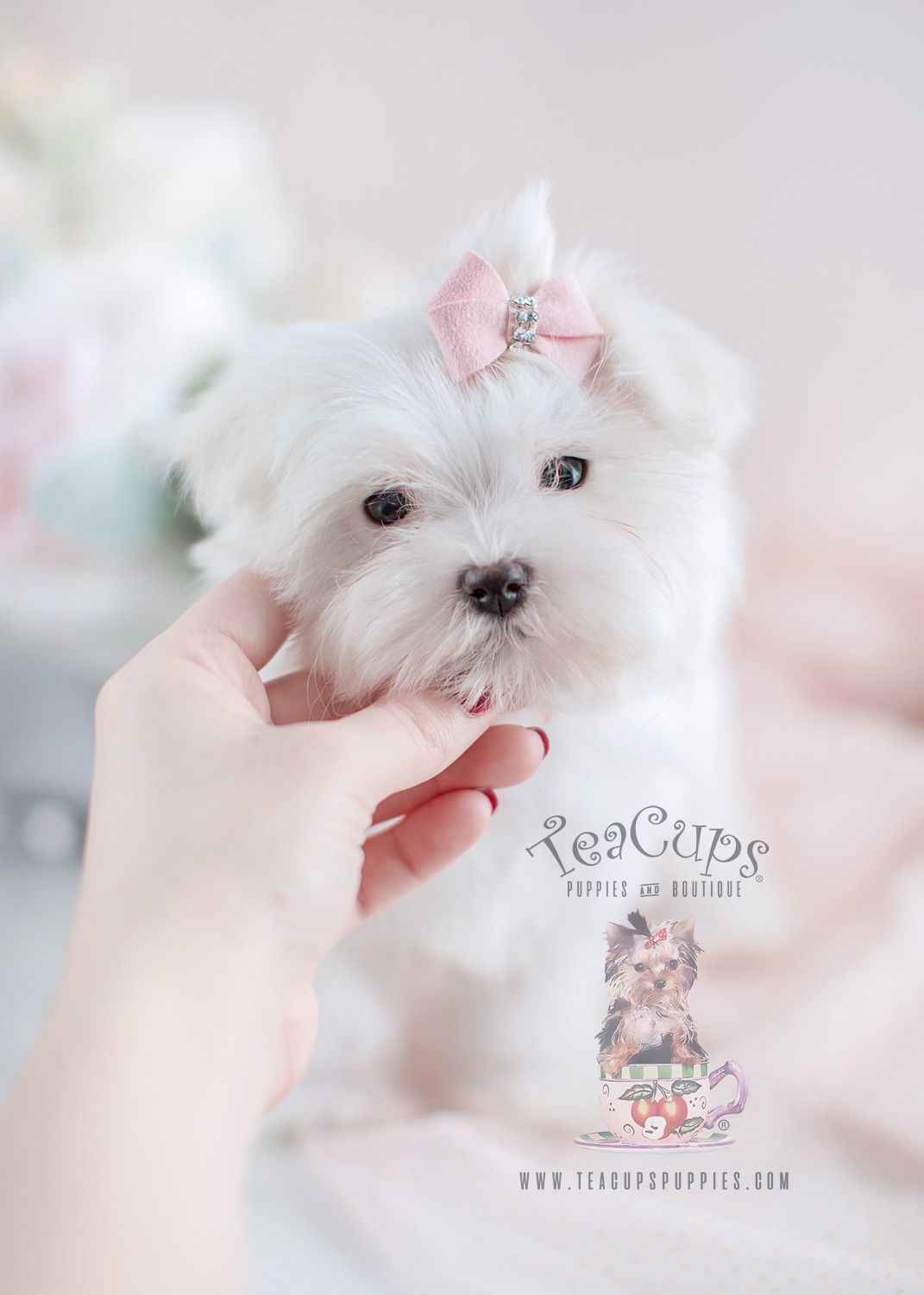 Puppy For Sale 073 Teacup Puppies Maltese Maltese Teacup