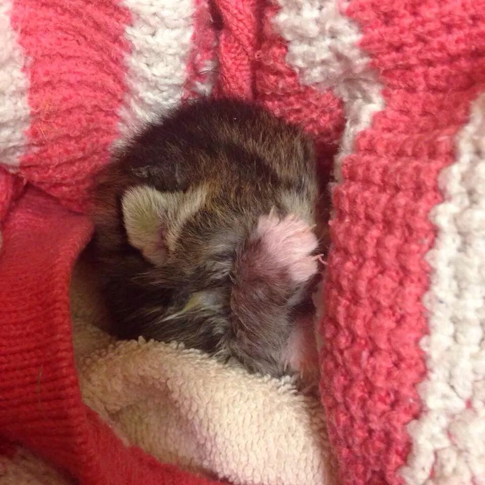 Kitten 10 Days Old Kitten Hamster Animals