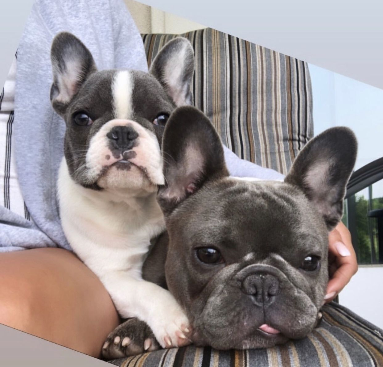 One Frenchie Is Never Enough Www Poeticfrenchbulldogs