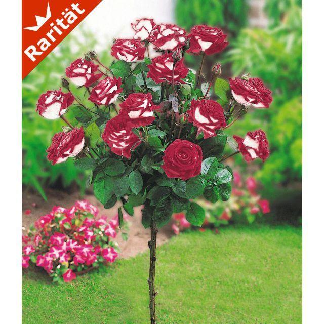 Rosen Stammchen Osiria 1 Stammchen Baldur Garten Gmbh