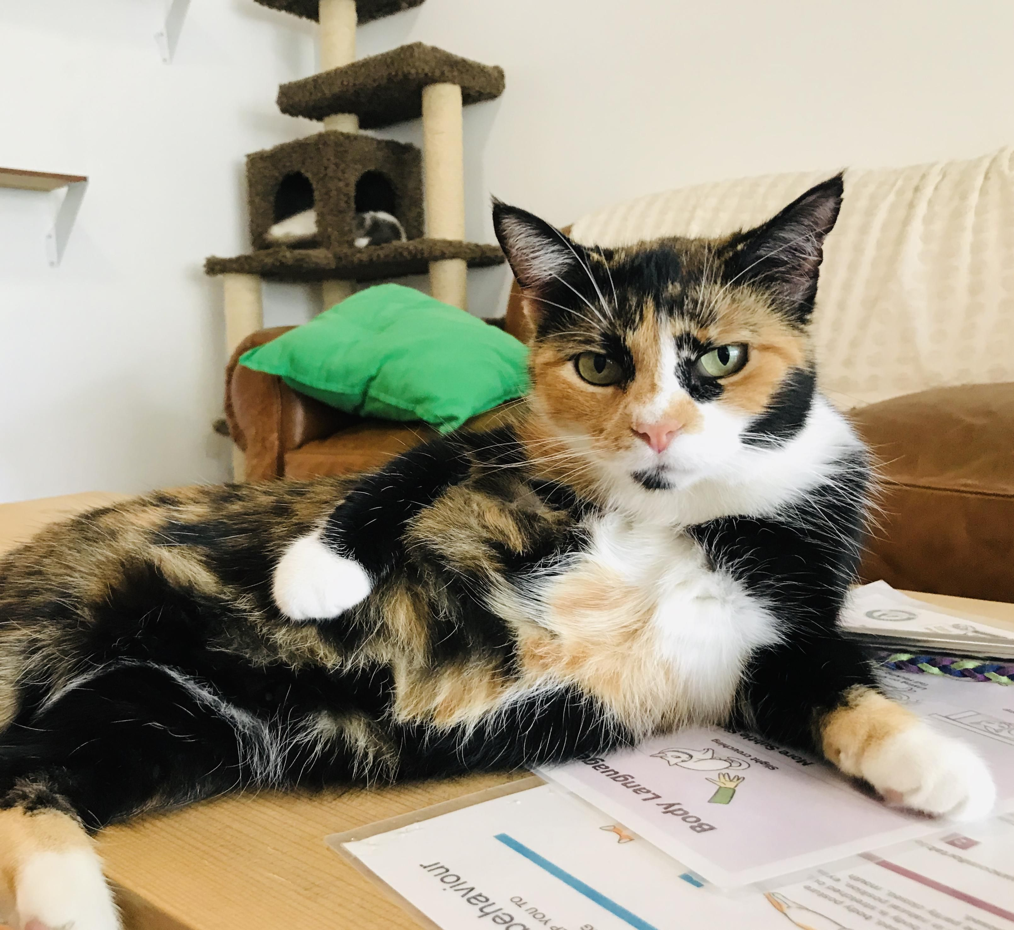 Polka Dot is available for adoption at Nine Live Cat Cafe