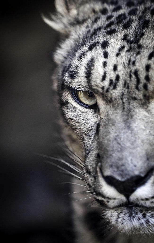 Snow Leopard Poker Face By Paul E M On Flickr Snow Leopard
