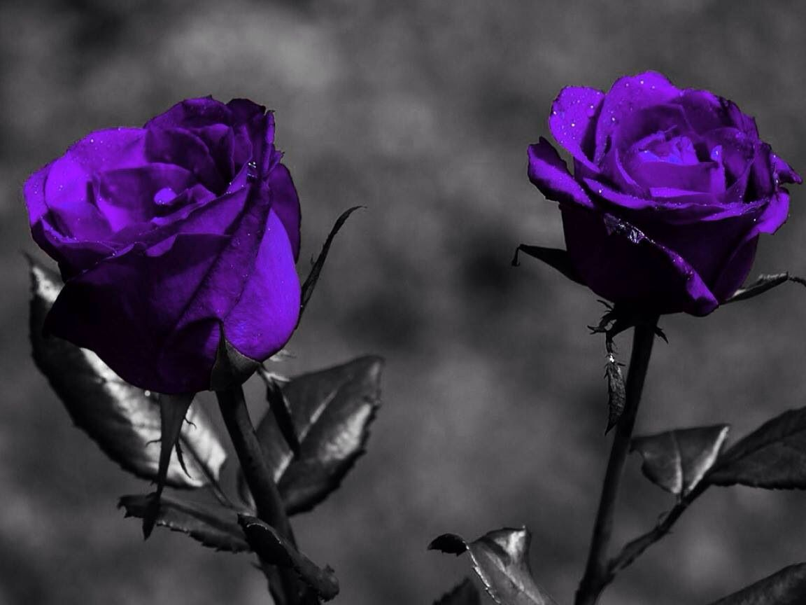 635 best roses images on pinterest beautiful flowers piano and purple roses buycottarizona