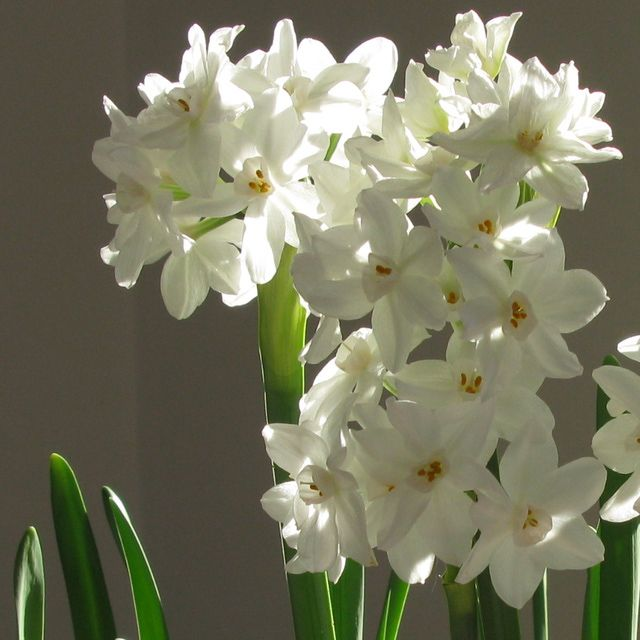 Pictures and profiles of great container plants and flowers plants narcissus container gardening picture of paperwhite narcissus flowers mightylinksfo