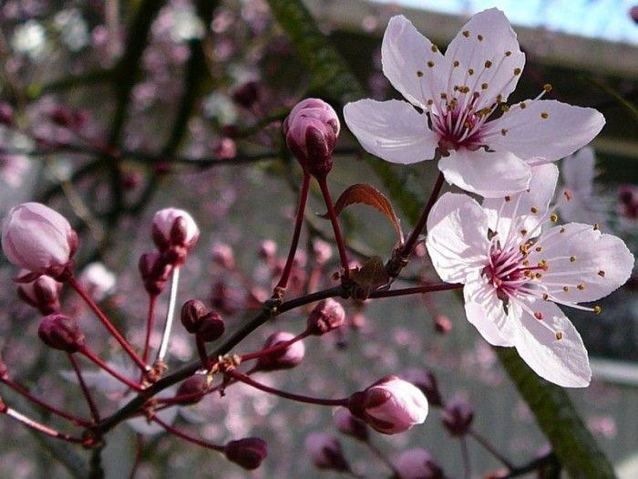 Stella Cherry Tree Google Search Edible Garden Cherry Tree Dogwood