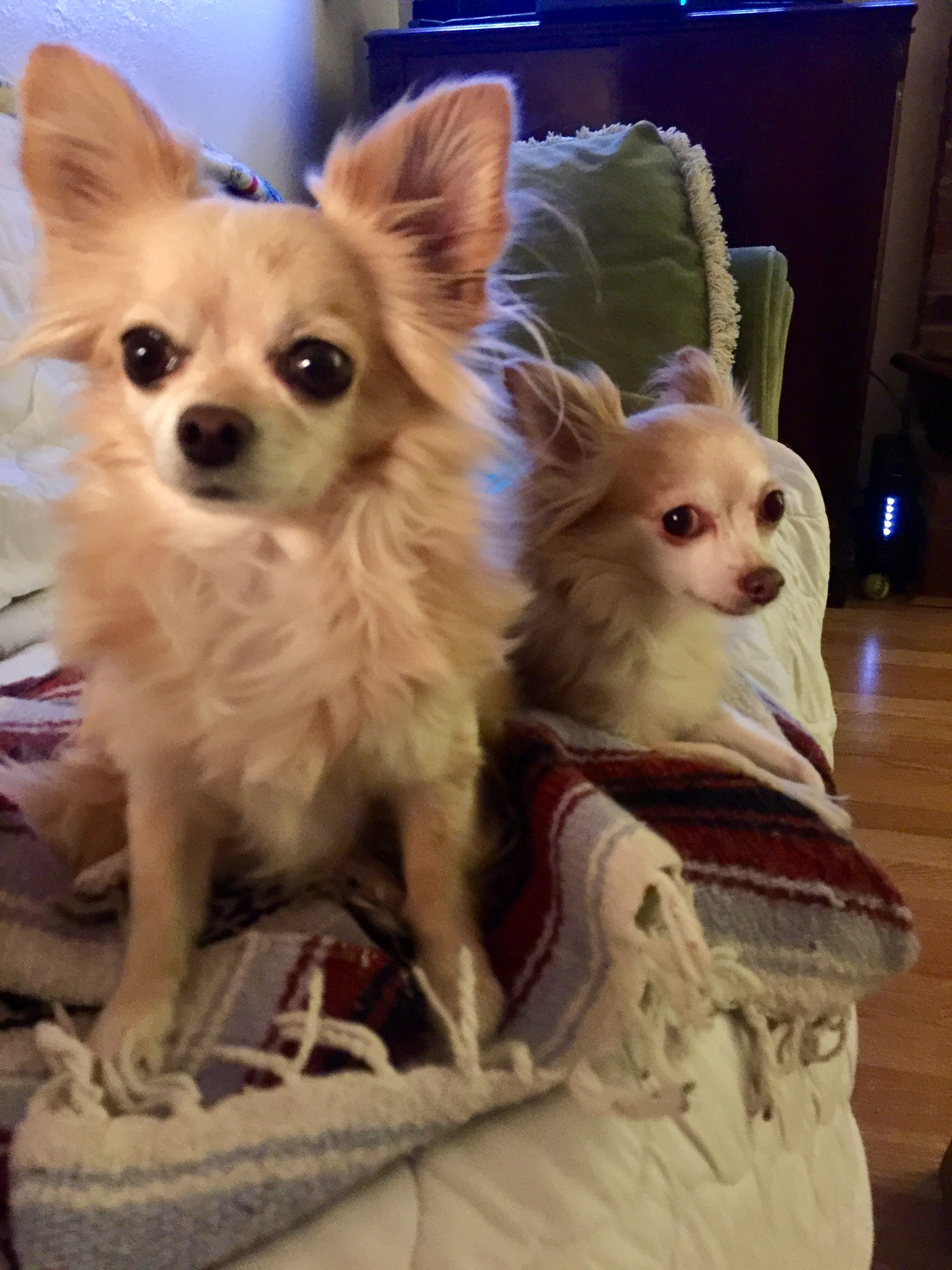 Lucky And Charm Inseparable Chihuahuas With Images Cute