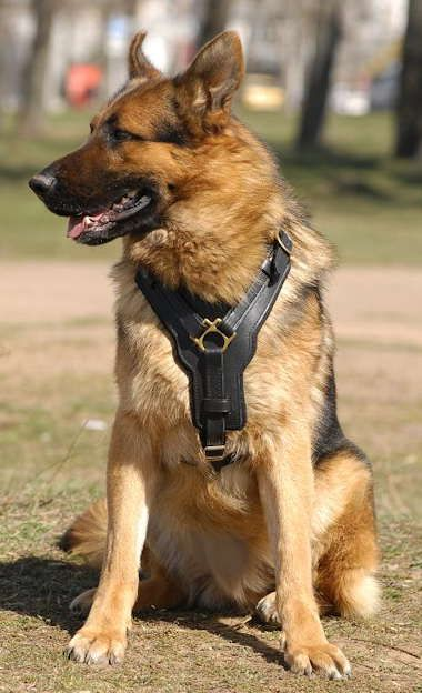 Exclusive Handcrafted Leather Harness For Gsd 79 90 Www All