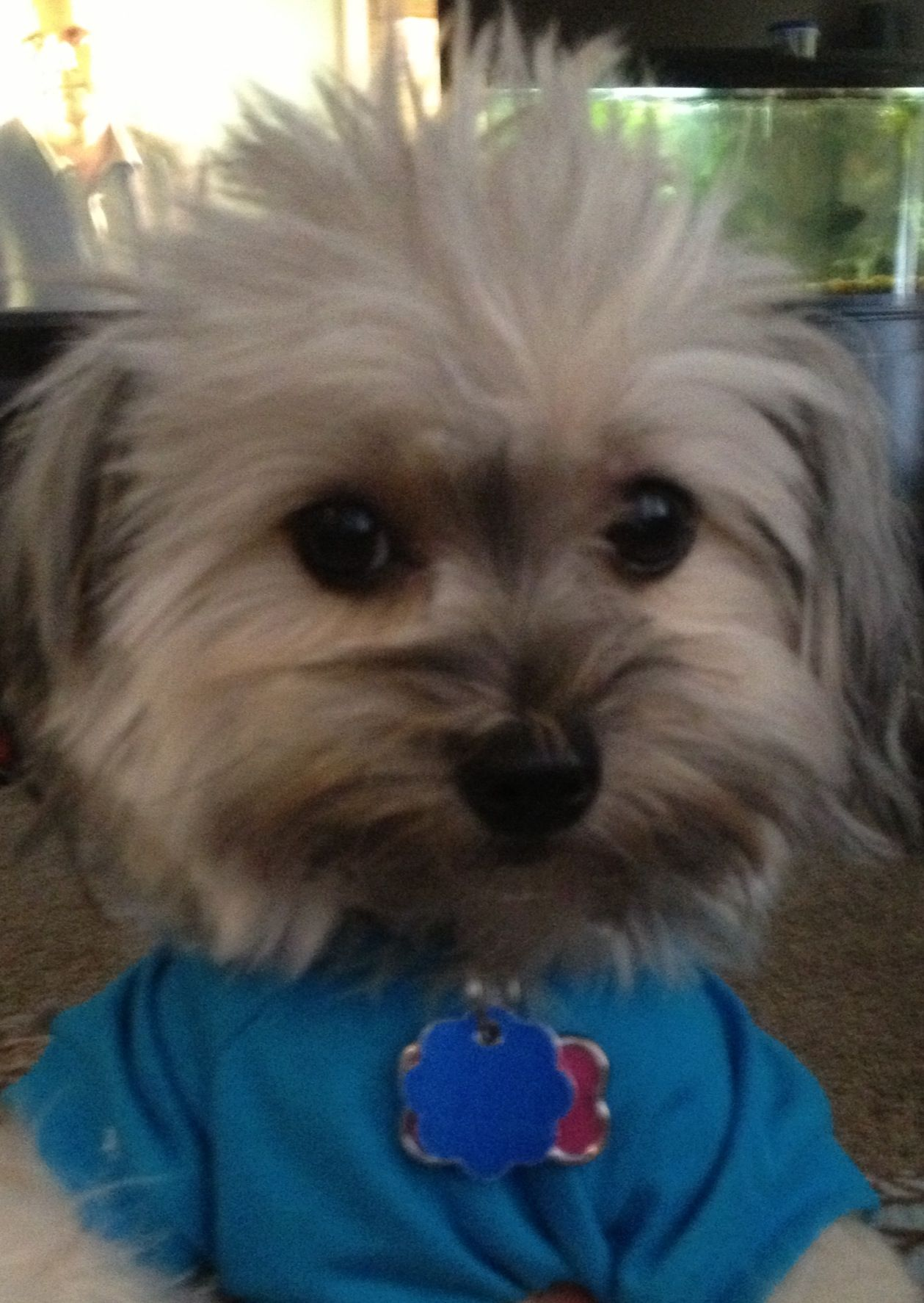 My Yo Chon Borkie Puppy Phoebe 2 Years Old 6 Pounds Cute
