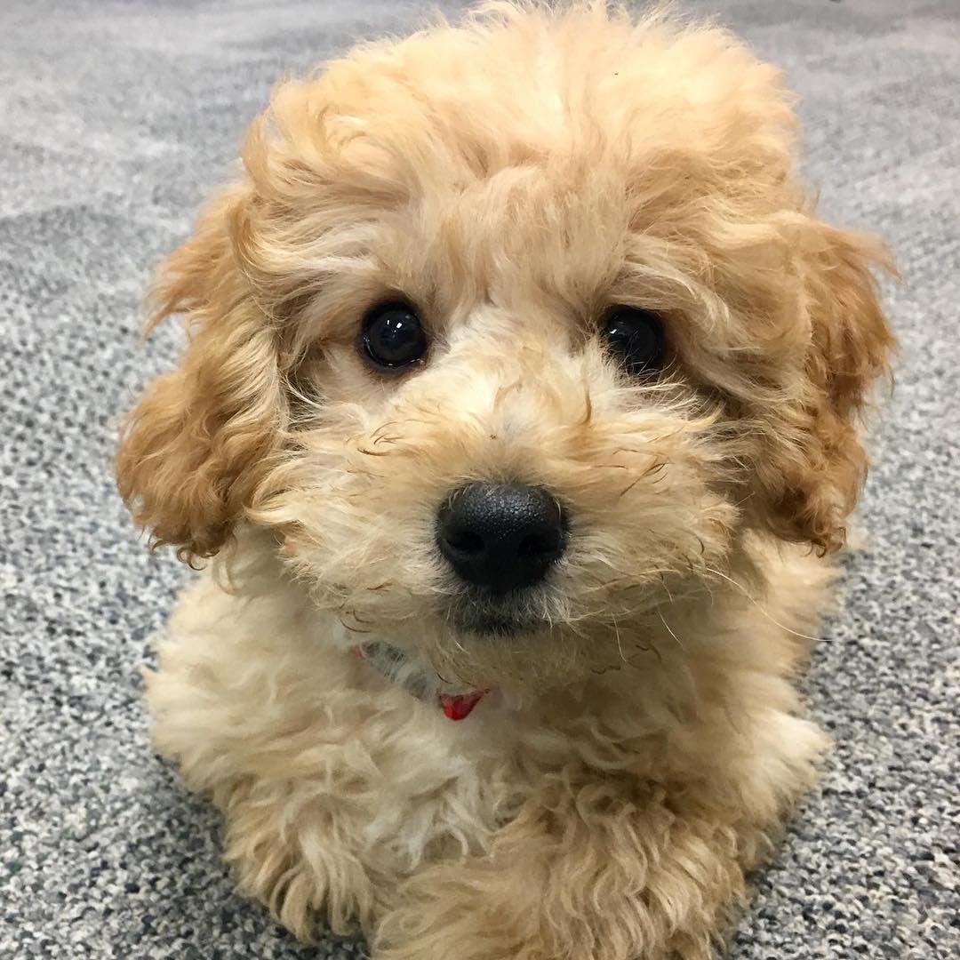 Robbie #minigoldendoodle #kanata #ottawa #dogsofinstagram