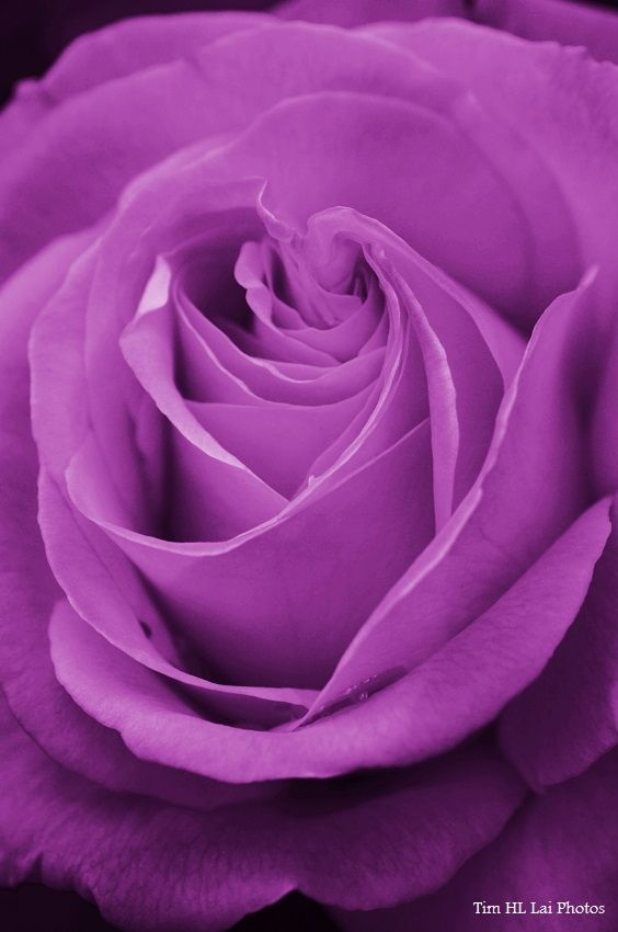 Purple Rose by Tim Lai on 500px