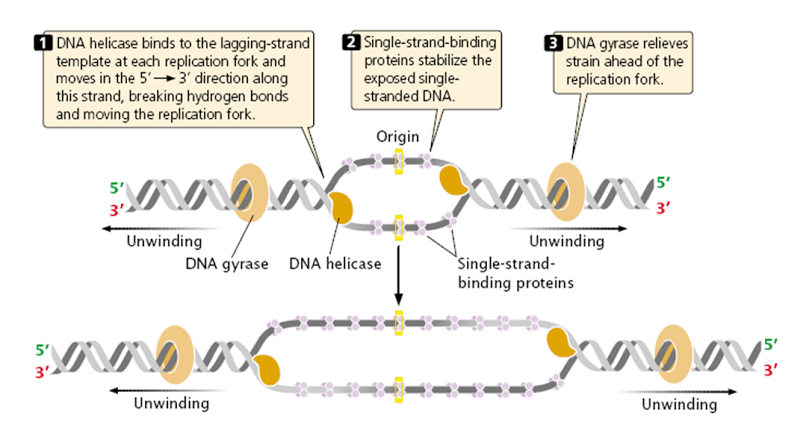 Initiation in DNA replication(이미지 포함)
