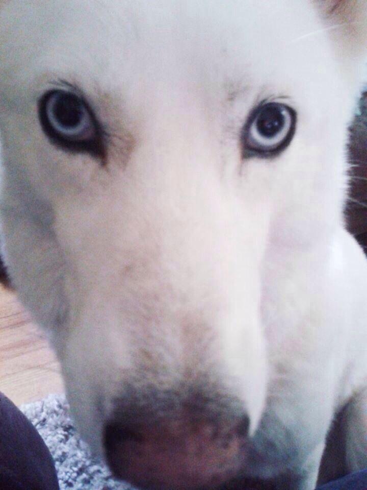 Lostdog 1 1 14 Minneapolis Mn Siberianhusky Female White Blue
