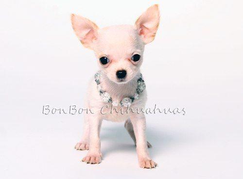 Teacup Chihuahuas Teacup Chihuahua Chihuahua Chihuahua Puppies