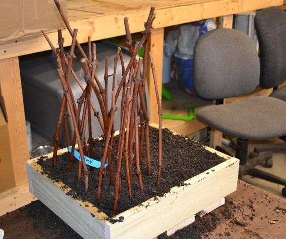 How To Propagate Grapes From Hardwood Cuttings