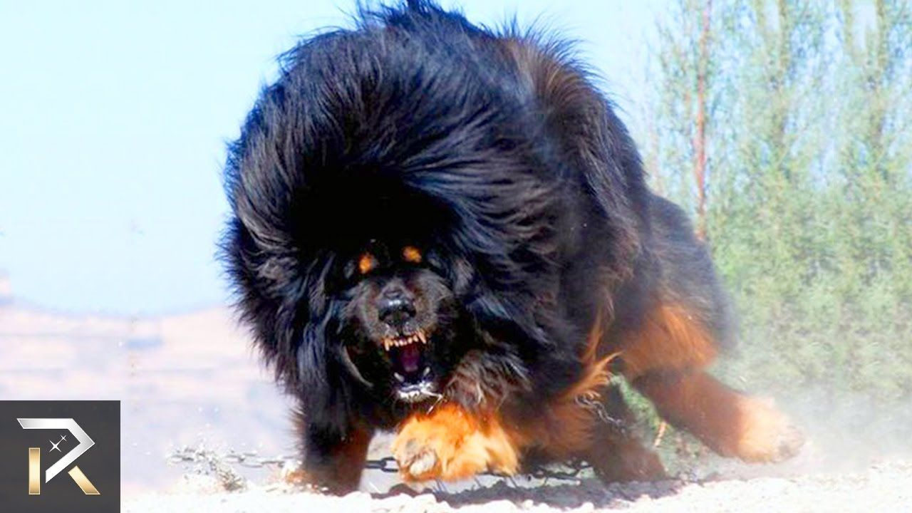 Pin By The 10s On Badass Dogs Dangerous Dogs Tibetan Mastiff