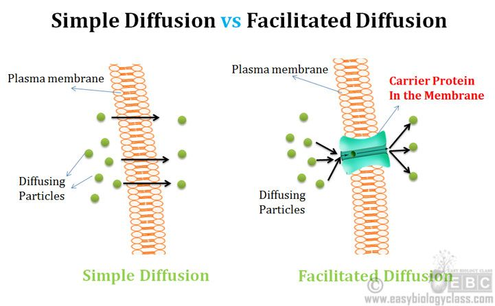 Difference Simple And Facilitated Diffusion Plant
