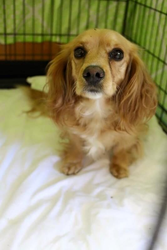 Adopt Cami On Adoptable Dachshund Dog Pets Dachshund Mix