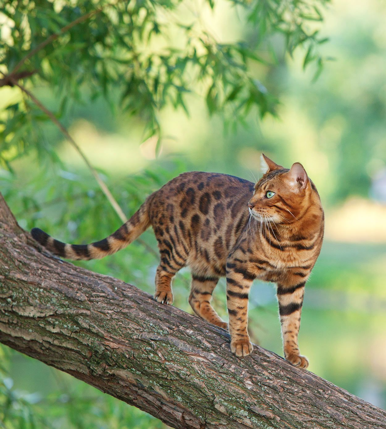 Bengal Cat Names 200 Ideas For Naming Your Male or