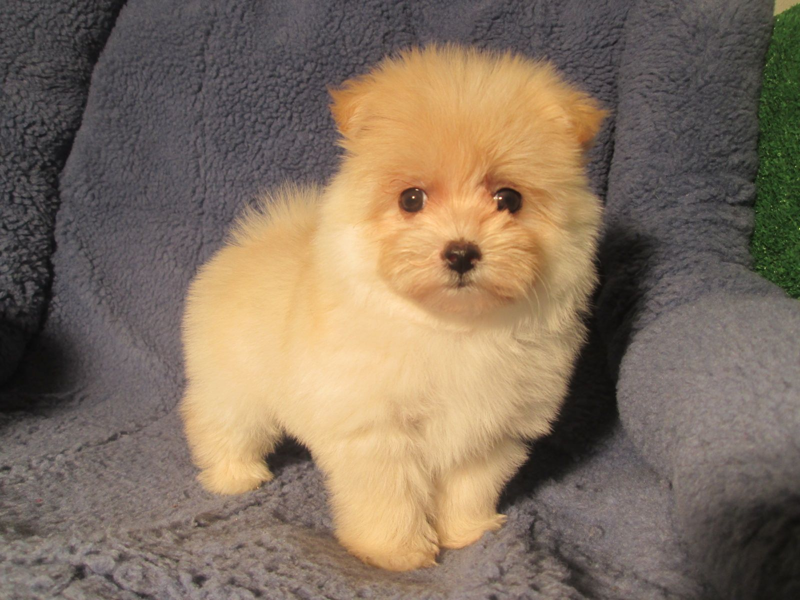 Maltipom Designer Mixed Breed Puppies Available Maltese X