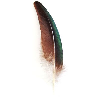 Green Iridescent Peacock Wing Tip Feather