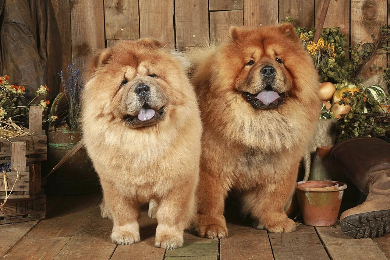 The Best Of Friends 3 Chow Dog Breed Chow Chow Dogs Chow Chow