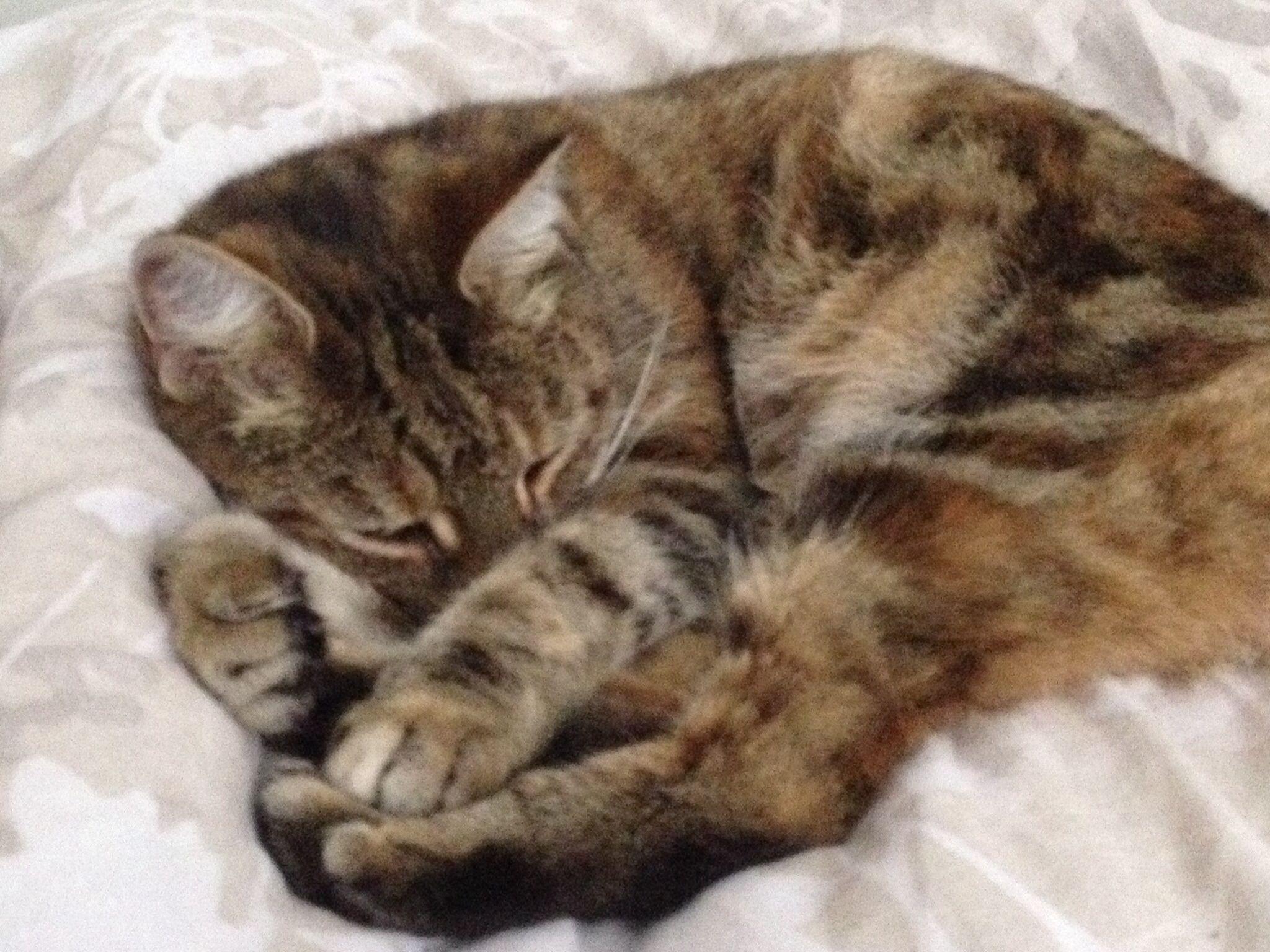 Pebbles cat ❤️