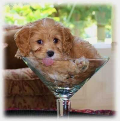 Cav A Poo Cavalier King Charles And Poodle In A Giant Martini
