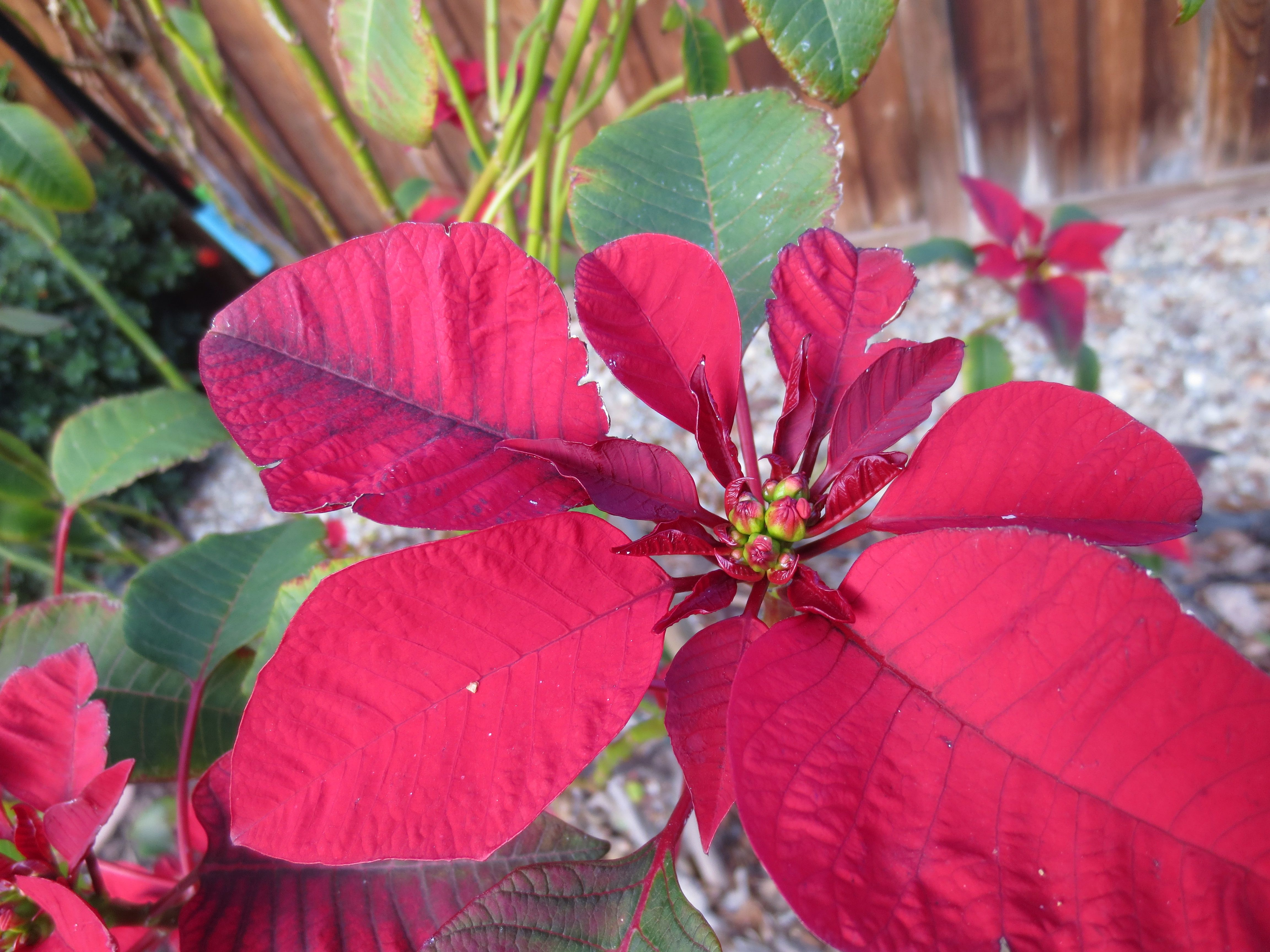 Poinsettia from 3 or 4 years ago all grown up beautiful flowers poinsettia from 3 or 4 years ago all grown up beautiful flowers coming through izmirmasajfo