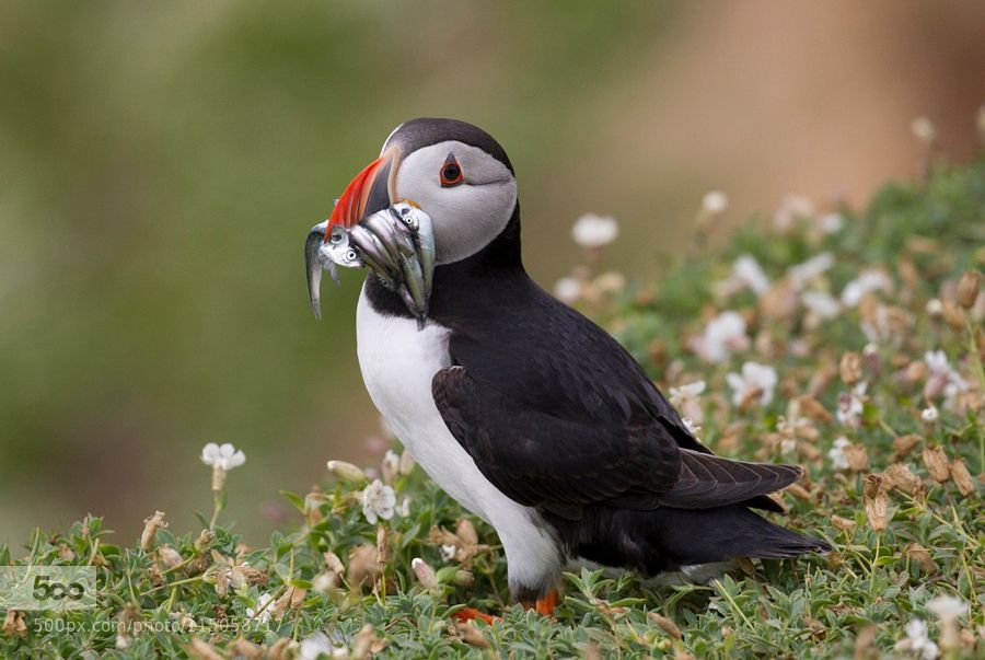 Puffin with sandeels on Skomer Island. by mcmanus. Please Like http://fb.me/go4photos and Follow @go4fotos Thank You. :-)