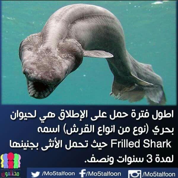 اطول فترة حمل لسمكة الفريلد شارك Frilled Shark Shark Slot Online