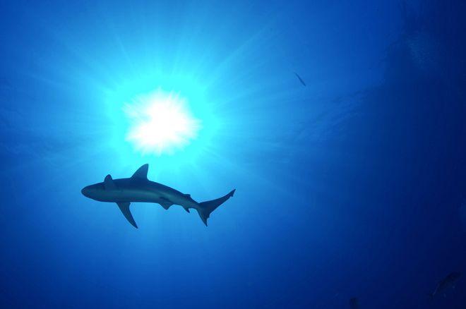 order sharks online